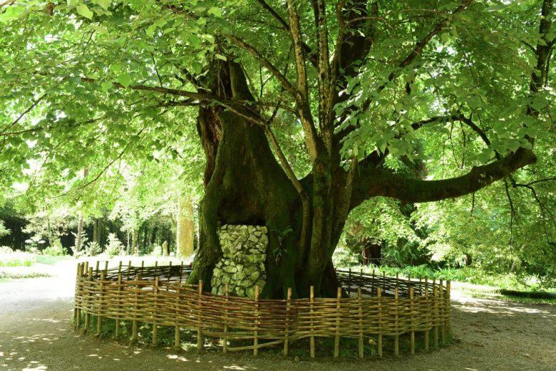 Липа в Ботаническом саду Сухум