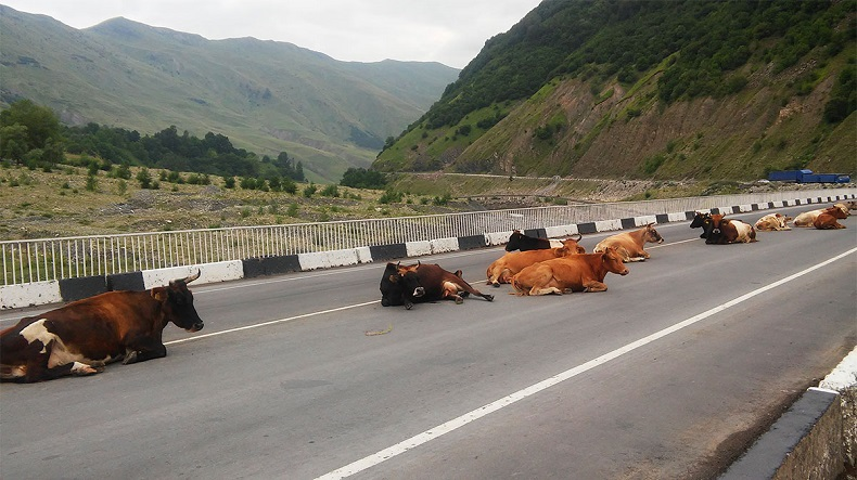 Минусы Абхазии - коровы